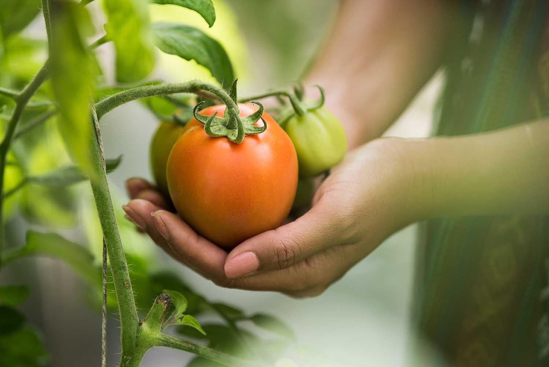 Çiftçi domates topluyor